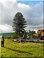 SJ9894 : Hattersley Monkey Puzzle Tree by Gerald England