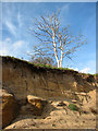 TM5383 : Dead tree standing on the edge of Boathouse Covert by Evelyn Simak