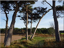 NT6378 : Coastal East Lothian : The Pines at Hedderwick Sands by Richard West