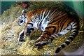 TL3948 : Amba the Bengal tigress by Tiger