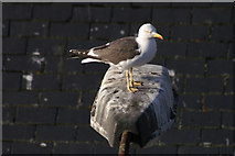 NJ9505 : Lesser Black-backed Gull (Larus fuscus) on a lamp post, Aberdeen harbour by Mike Pennington