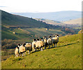 SD7797 : Eden valley woollies by Andy Waddington