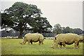 SP9634 : Rhinoceros, Woburn Abbey Safari Park, 1972 by Robin Webster
