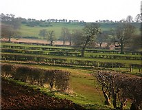 SK8129 : Oaks and hedges at Branston, near Croxton Kerrial by Stefan Czapski