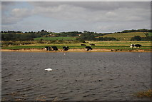 TQ9014 : Cattle by the Colonel Body Memorial Lakes by N Chadwick