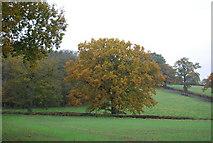 TQ5334 : An Autumnal tree near Bullfinches by N Chadwick