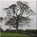 NZ1322 : Tree in pasture by Raby Castle by David Hawgood