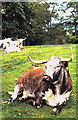 NY6819 : Longhorn cattle at Appleby Castle by Evelyn Simak