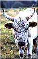 NU0725 : Young bull of the Chillingham herd of wild white cattle by Evelyn Simak