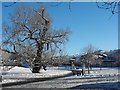 SO1191 : Black poplar in the snow by Penny Mayes