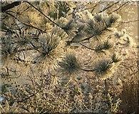SX9265 : Frost on pine needles, St Marychurch by Derek Harper