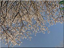 SX9065 : Frosty twigs, Cricketfield Road, Torquay by Derek Harper