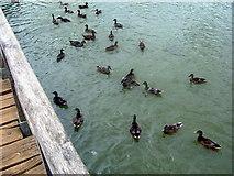 TQ7825 : Bodiam Castle, Ducks in the moat by Helmut Zozmann