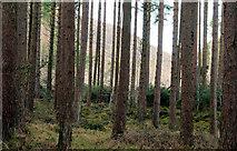 J3630 : Trees, Donard forest, Newcastle by Albert Bridge