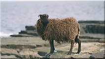 HY7651 : North Ronaldsay Sheep by Adrian Steen