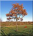 NS4365 : Oak Tree, Linwood by wfmillar