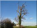 TG3606 : Tree beside Woods Lane by Adrian S Pye