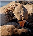 J4774 : Greylag goose, Kiltonga, Newtownards by Albert Bridge