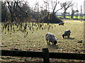 TL5458 : Little Wilbraham: sheep and catkins by John Sutton