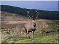NC3816 : Stag at Duchally by sylvia duckworth