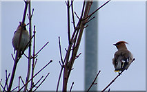 NS3174 : Waxwings at Port Glasgow by Thomas Nugent