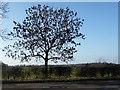 NZ5412 : Ash tree in winter by Christine Johnstone