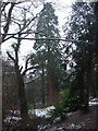 ST5577 : Blaise Castle Estate - Wellingtonia in the snow by C P Smith