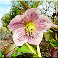 SO6424 : Helleborus x hybridus, Single Hellebore by Jonathan Billinger