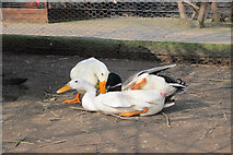 TQ4807 : Ducks mating by Oast House Archive