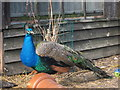 TQ4807 : Peacock at Middle Farm by Oast House Archive
