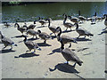 SD8303 : Geese at Heaton Park by Steven Haslington