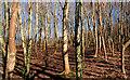 J4782 : Trees, Crawfordsburn Country Park (4) by Albert Bridge