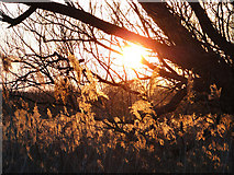 TG2105 : Sun setting through the trees and rushes by Adrian S Pye