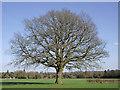SO7699 : Oak tree near Badger, Shropshire by Roger  Kidd