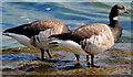 J3581 : Geese, Belfast Lough by Albert Bridge