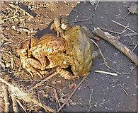 SE1307 : Amorous toads by John Illingworth