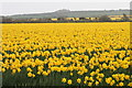 SW6635 : View across daffodils to Crowan Beacon by Elizabeth Scott