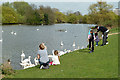 TQ5286 : Feeding the swans, Harrow Lodge Park by Robin Webster