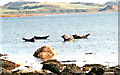 NS0558 : Basking Seals, Scalpsie Bay, Isle of Bute by Paul Buckingham