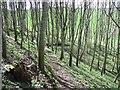 NT8742 : Young woodland, Twizel by Richard Webb