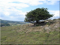 TQ4210 : Bush with sheep on Malling Hill by Ian Cunliffe