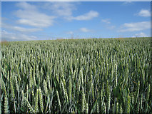 SY7895 : Wheat field north of Tolpuddle by Sandy B