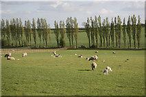 SK7474 : Askham sheep by Richard Croft