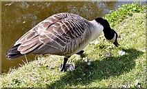 SJ9495 : Canada Goose by Gerald England