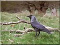 TQ2173 : Jackdaw, Richmond Park by Stefan Czapski