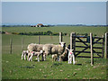 TV5897 : Sheep at Warren Hill by Oast House Archive