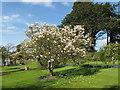 NY4522 : Magnolia at Sharrow Bay by M J Richardson