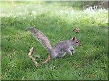 TQ2779 : Grey Squirrel in Hyde Park by David P Howard