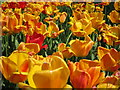 TQ8010 : Tulips at Alexandra Park by Oast House Archive