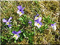 NY8045 : Mountain pansies at Coalcleugh by Mike Quinn